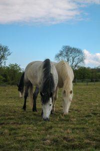Belle and Winnie grazing