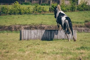 horse jumps over cross country fever