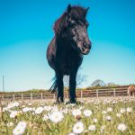 Pony in the daisies