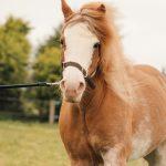Strawberry roan pony in field