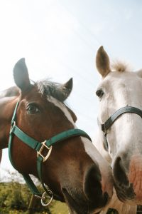 Horses muzzle to muzzle