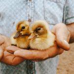 2 Ducklings