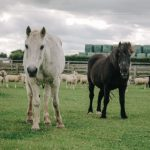 Ponies and sheep