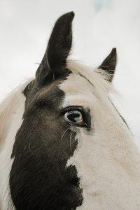 Horses head profile